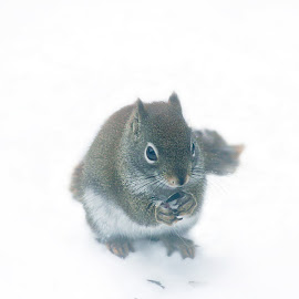 by BethSheba Ashe - Digital Art Animals ( red, squirrel, storm, seed, snow, whiteout, winter, american, cold, eating )