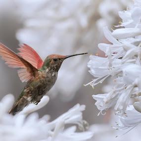 Anna at the Arboretum by David Hammond - Animals Birds ( flying, animals, nature, hummingbird, anna, birds,  )
