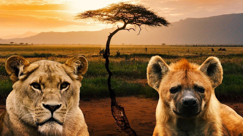 Watch Killer IQ: Lion vs Hyena live
