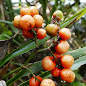 Narrow-leaved Palm Lily (fruiting)
