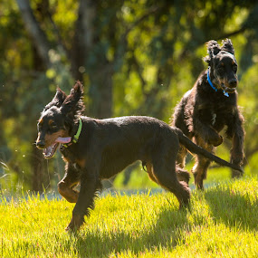 Bruce & Domino by Christine Lester-Deats - Animals - Dogs Puppies ( gordon setter, flying ears, puppies, jumping, tongues, running, pwcpuppies )