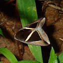 Triangular-Striped Moth