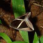 Triangular-Striped Moth
