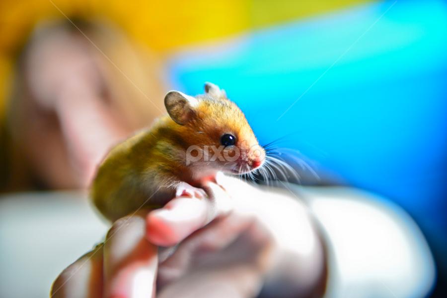 Mickey by Marko Gilevski - Animals Other ( littlebeautiful, hamster, cute, animal )