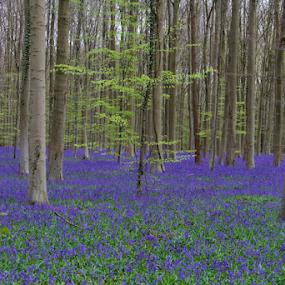 Bois de Hal by Dominic Jacob - Landscapes Forests ( halle, blue, hal, belgium, forest, bois, hyacinth, hood,  )