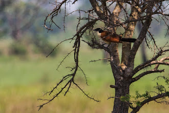 Photo: A coppery-tailed coucal; Um cucal-de-cauda-cúprea.