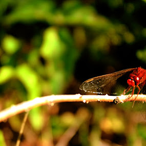 red bug by Yılmz Doğn - Animals Insects & Spiders