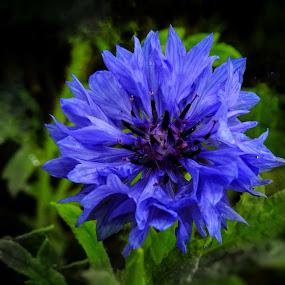 Deep Purple by Patricia Phillips - Flowers Single Flower ( flowers purple mountain- blute )
