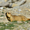 Marmot - -Himalayan Marmot. Local name-Phia,Mirgot in Ladakhi language