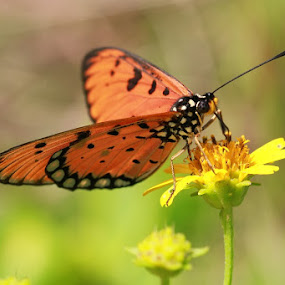 The buterfly n the flower by I Wayan Gunayasa - Animals Insects & Spiders