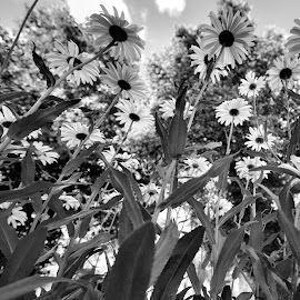 Hazelwood Daisey Patch by Cal Brown - Black & White Flowers & Plants ( black and white, daisies, new york, flowers, garden, city street,  )