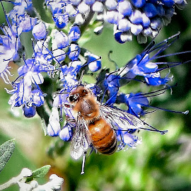 Bee Feasting On Lavender by Mel Bishow - Animals Insects & Spiders ( © mel bishow,  )