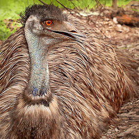 Emu with Attitude by I Snapit - Animals Birds (  )