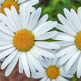 Dasies by Jay Stout - Flowers Flower Gardens (  )