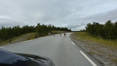 Photo: Reindeers on the road. We met more reindeers than cars on the way to Trondheim.