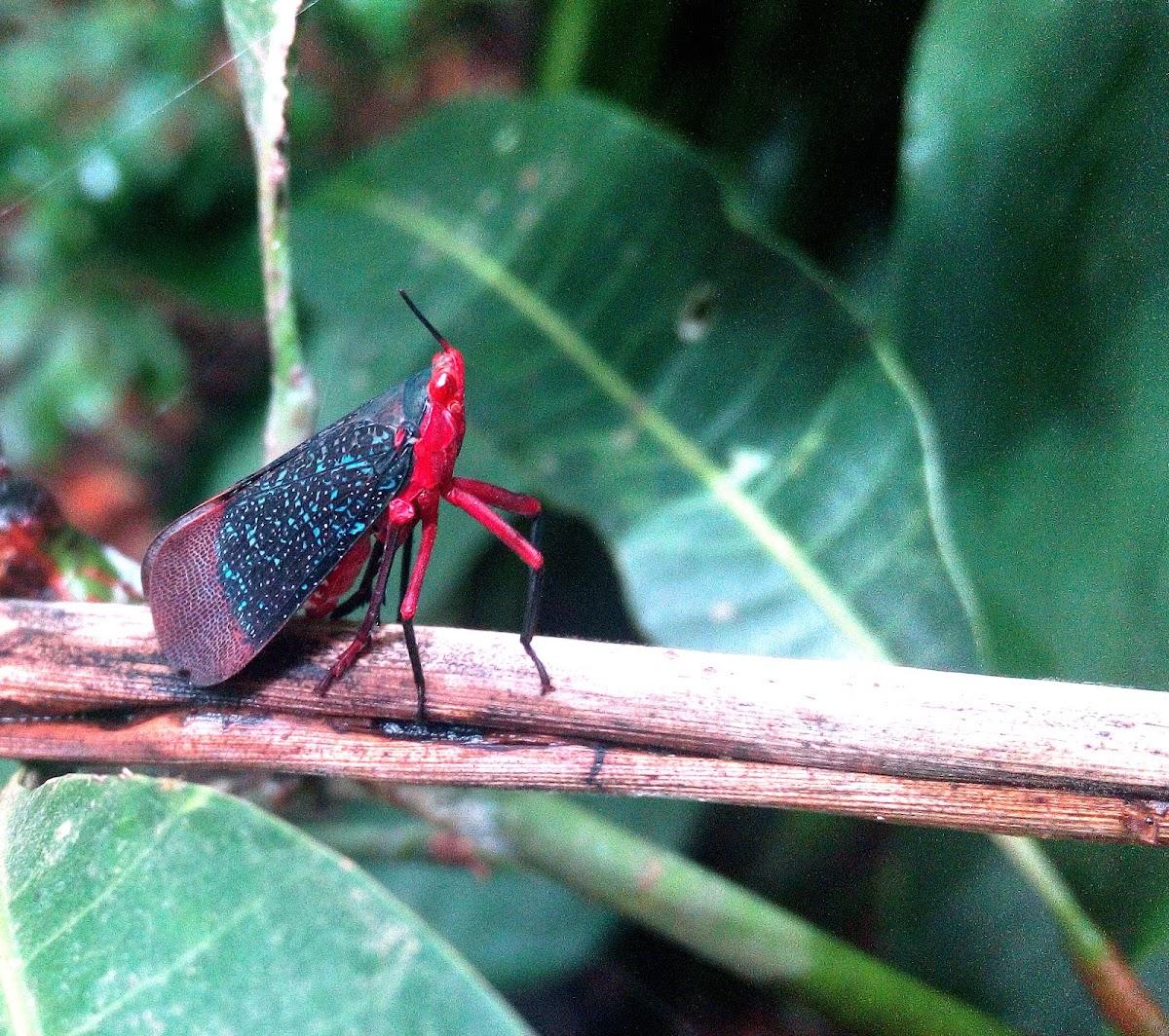 Kalidasa- Fulgoridae