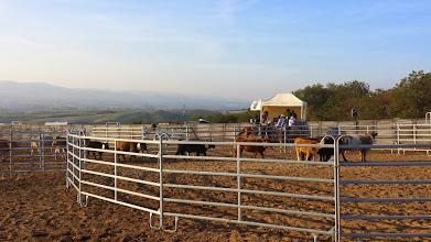 Photo: Cette photo est prise avant le début de l'épreuve, les vaches se promenant à l'intérieur des 2 enclos. Lorsque l'épreuve débute toutes les vaches sont dans l'enclos de gauche, et tandis qu'un cowboy garde le passage, l'autre rabat la bonne vache vers ce passage...