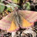 Red Dye Moth