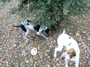 Photo: Dogs hunting Black Truffle(Tuber Melnosporun & Aestivum) Plantation. Trufa, Trufas, Truffle, Truffe, Trüffel, Tartufo. More information: http://blacktruffles.blogspot.com/p/what-is-truffle.html