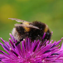 Sleepy Bee by Chrissie Barrow - Animals Insects & Spiders ( wild, purple, petals, green, furry, bumblebee, knapweed, insect, bokeh, cream, orane, wings, legs, buff tailed, black, flower, animal )