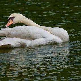 Swan  by Zam Foto - Animals Birds ( water, zoo, avian, white, floating, wildlife, swan, lake, zoology, birds )