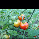 Super Sweet 100 Hybrid Cherry Tomato