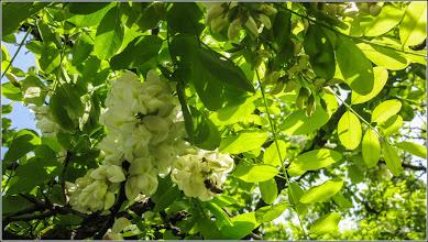 Photo: Salcâm (Robinia pseudoacacia) - din Turda, Calea Victoriei - 2019.05.18