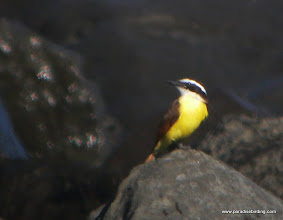 Photo: Social Flycatcher, Matanchen Bay