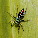 Grainy Cosmophasis Jumping Spider