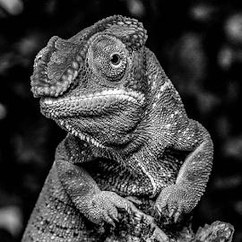Chameleon by Garry Chisholm - Black & White Animals ( chameleon, nature.macro, reptile, lizard, garry chisholm )