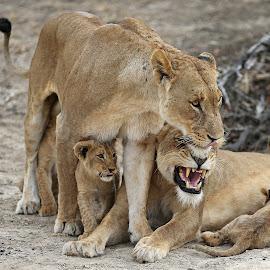 Ntsevu pride by Anthony Goldman - Animals Lions, Tigers & Big Cats ( lions, predator, south africa., londolozi, big cats, female, cubs, wild, wildlife,  )