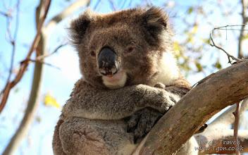 Photo: Koala, The 'Great' Ocean Road, Victoria, Australia