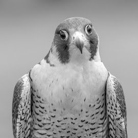 Peregrine Falcon by Debbie Quick - Black & White Animals ( peregrine falcon, raptor, debbie quick, nature, falcon, debs creative images, birds of prey, outdoors, bird, animal, black and white, wild, wildlife,  )