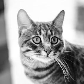 I see you! by Nistorescu Alexandru - Black & White Animals ( #eyes, #seeking, #bw, #sharp, #cat,  )