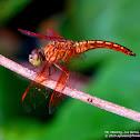 Asian Amberwing ♂