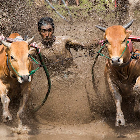 pacu jawi by Teddy Winanda - News & Events Sports ( minangkabau, indonesia tourism, cow race, pacu jawi, west sumatera )