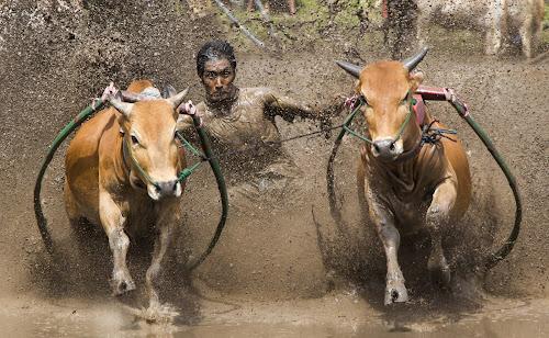 pacu jawi by Teddy Winanda - News & Events Sports ( minangkabau, indonesia tourism, cow race, pacu jawi, west sumatera )