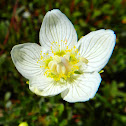 Marsh Grass Parnassus