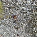 Seven Spot Ladybird Beetle