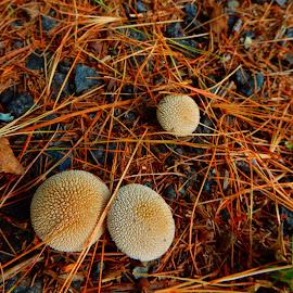 Spongy Mushrooms by Kristine Nicholas - Novices Only Flowers & Plants ( mushroom, plant, macro photography, plants, pine needles, fungus, macro, sponge, fungi, nature, nature up close, pine, mushrooms )
