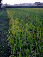 Photo: Rice growing