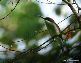 Photo: Juvenile Blue-throated Beeeater, Rainforest Discovery Center, Sepilok