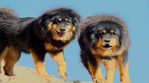 Tibetan Mastiff Live Wallpaper