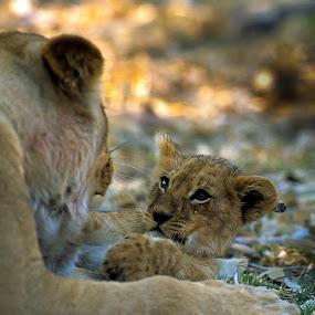 by Fanie Weldhagen - Animals Other Mammals ( mammals, lion )