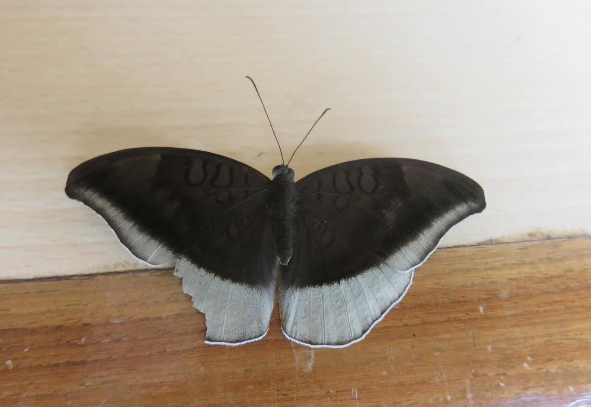 Grey Count Butterfly