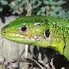 Western Green Lizard