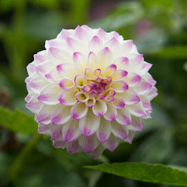 A Hint Of Purple by Janet Marsh - Flowers Single Flower ( dahlias, purple and white )