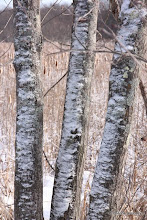 Photo: Snowy poplars