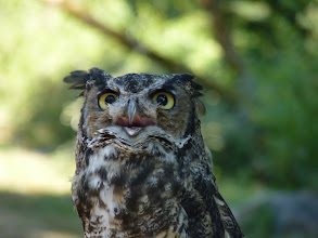 "Photo: The male Great Horned Owl is smaller than the female and has a lower pitched call ""hoo-h'HOO--hoo-hoo"":   http://www.allaboutbirds.org/guide/great_horned_owl/sounds"