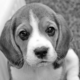 puppy bw by Carola Mellentin - Black & White Animals